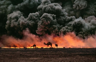 """Ahmadi Oil Fields, Kuwait, 1991  Camels and oil fire, Kuwait, 1991  Sandwiched between blackened sand and sky, camels search for untainted shrubs and water in the burning oil fields of southern Kuwait.  Their desperate foraging reflects the environmental plight of a region ravaged by the gulf war. Canby, Thomas Y. (August 1991)  """"The first Gulf War taught us a new lesson in unconventional conflict. Saddam Hussain's army filled the skies of southern Kuwait with black poignant smoke from the burning oil lines.  It was a powerful, debilitating symbol. And there was another.  McCurry, who was covering the war, saw camels running in terror from the fires.  Both images -whether of the fires or of the animals- were powerful representations of the chaos of that time.  Central to McCurry's reputation as a journalist is his discipline to wait, and to search, and then to recognize the most telling image.  The juxtaposition of the fire and smoke and camels running amok creates an icon of that war."""" - Phaidon 55  National Geographic, Vol. 180, No. 2, pgs. 2-3, August 1991, The Persian Gulf: After the Storm  Phaidon, 55, Iconic Images, final book_iconic, final print_milan, iconic photographs  As his army retreated from Kuwait, Saddam Hussein ordered the ignition of the oil fields that scatter the country.  The effect was an ecological disaster of unimaginable scale.  These camels are running from the fires.  It is a futile effort: soon they will covered in oil that rails down from the sky.  Steve Mccurry_Book Iconic_Book Untold_book  final print_UrbanArt'12  final print_MACRO'11"""